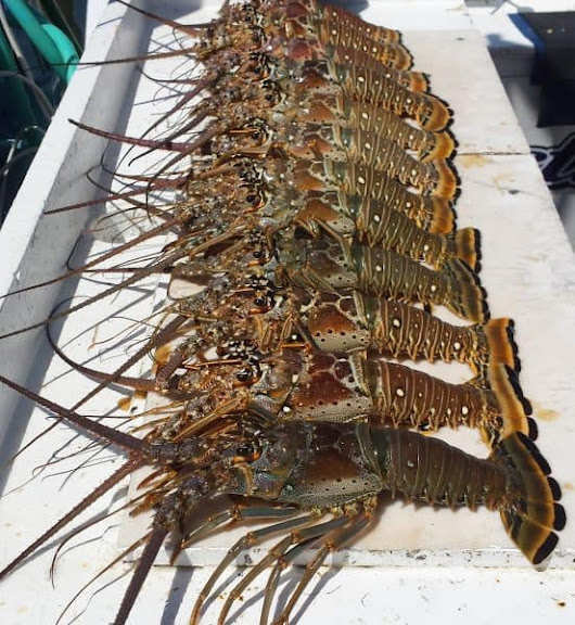 Don't Make These 5 Lobstering Mistakes - Red Rum International