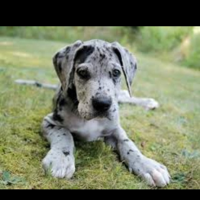 Caldygate Great Danes Kennel | Cape Town Great Dane ...