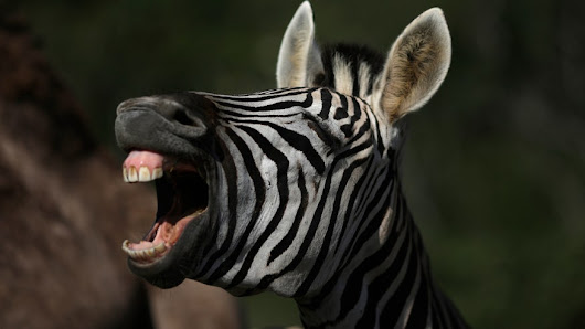 Why do zebras have stripes? It's not for camouflage