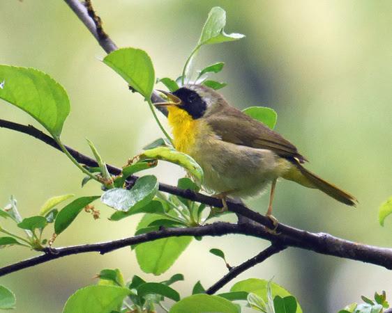 Ed Gaillard: birds &emdash; Common Yellowthroat singing, Central Park