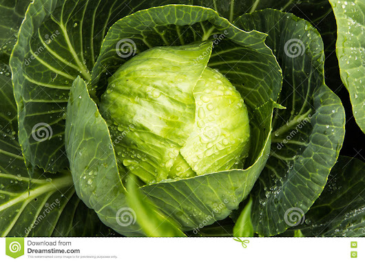 Green Cabbage with rain drops