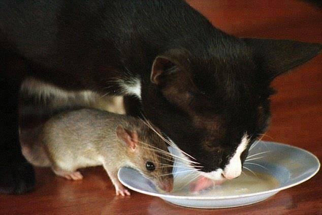Hasil gambar untuk gambar kucing dan tikus
