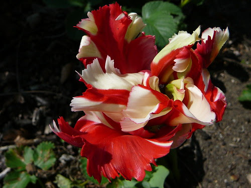 Tulpen 2008 (12)