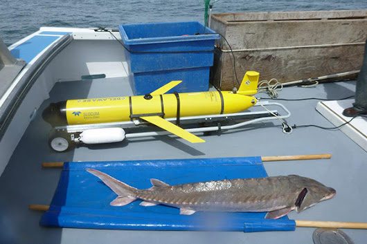 Scientists use satellites, underwater robot to study Atlantic sturgeon migrations