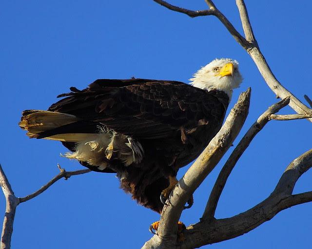 IMG_8472 Bald Eagle, Sacramento National Wildlife Refuge