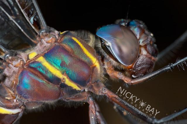 Dragonfly (Anisoptera) - DSC_9785