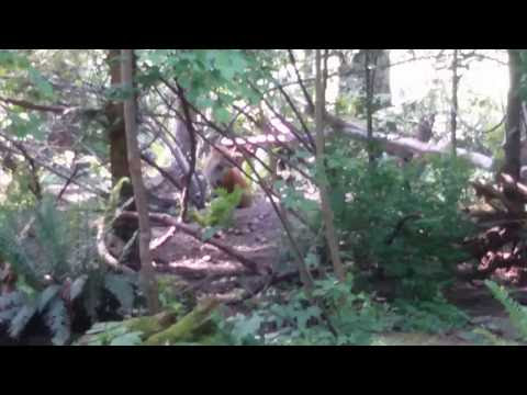 Red fox at Northwest trek - rare video of the foxes there