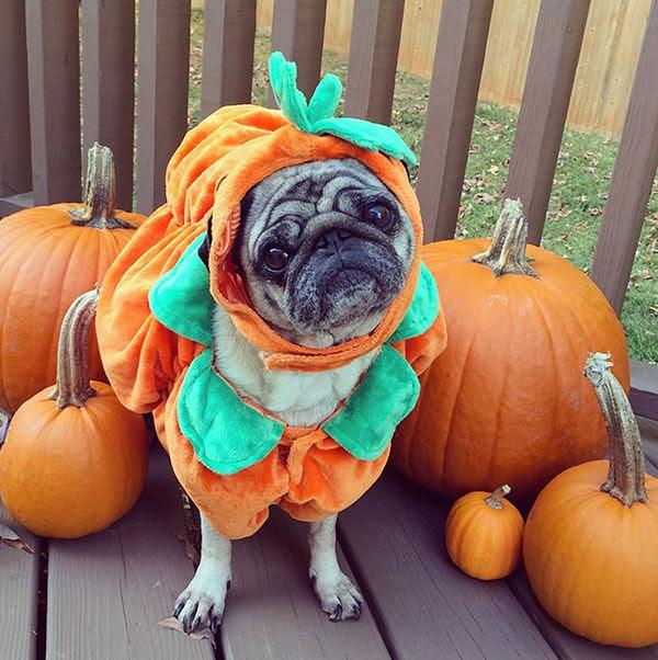 Image result for pet costume pumpkin