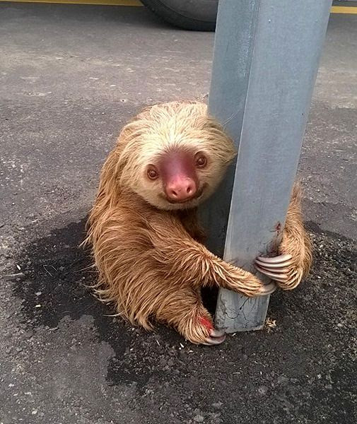 Despite being trapped in the middle of a highway in Ecuador, a sloth takes the time to look at the camera and smile.