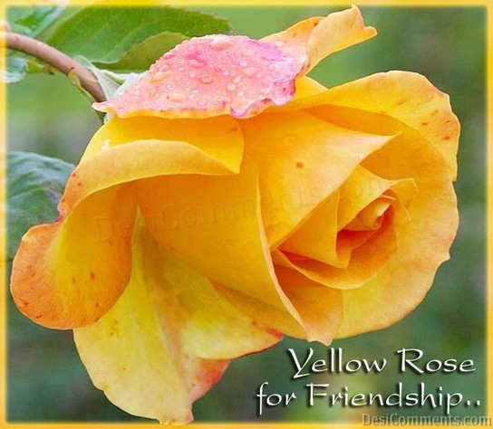 Yellow Rose For Friendship