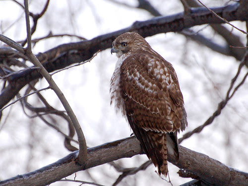 Great Hill Juvenile Red-Tail