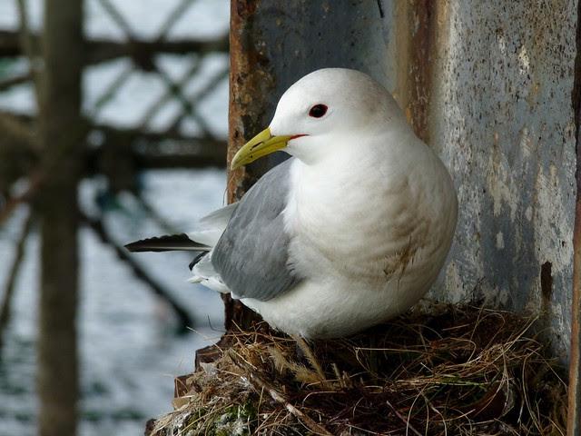 24459 - Kittiwake, Mumbles Pier