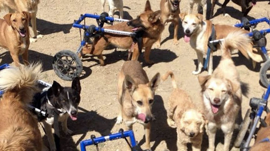 Rescue Dogs Don't Let Wheelchairs Slow Them Down in Joyful Video
