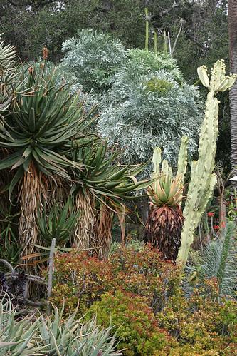 huntington cussonia paniculata