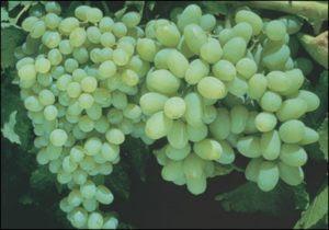 Uso de giberelinas en viticultura