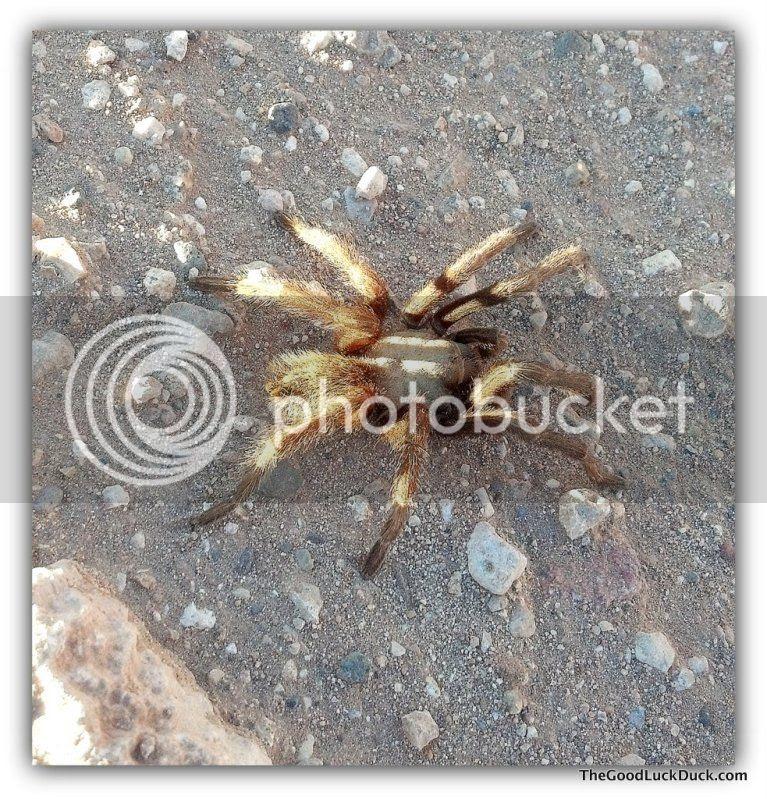 Tarantula, Rimrock, Arizona, http://thegoodluckduck.com