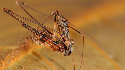 Spider eat spider: Scientists discover 18 new spider-hunting pelican spiders in Madagascar