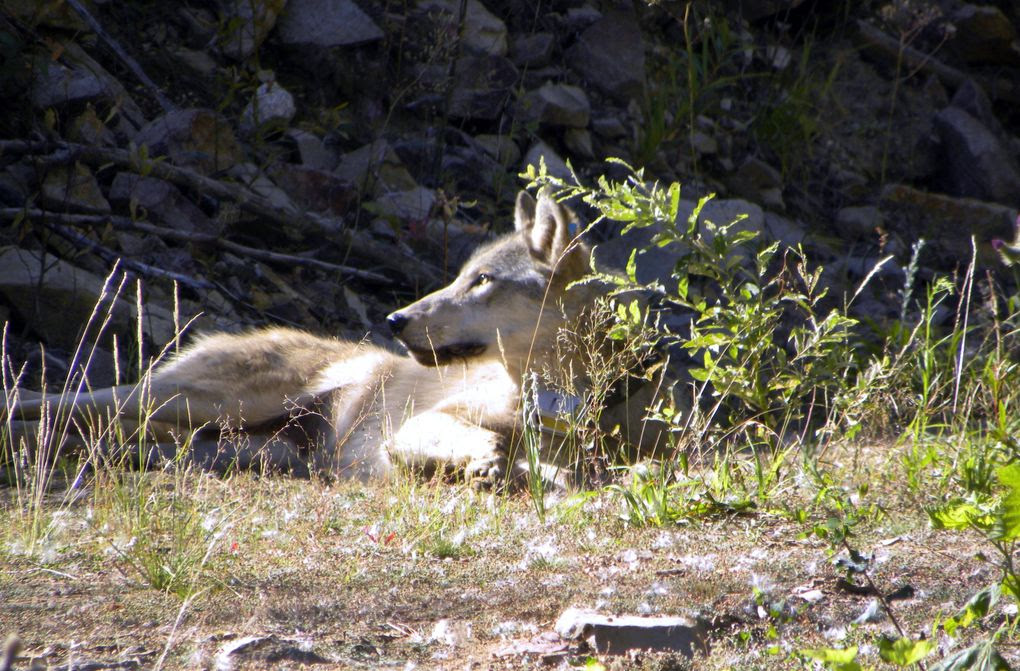 In this Sept. 2, 2012 photo provided by the Colville Confederated Tribes, a gray wolf rests on the Colville Indian Reservation near Nespelem. (Uncredited/The Associated Press)