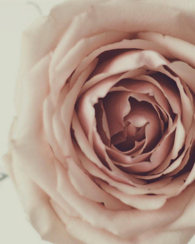 Blush -  Rose Photography Print 5x7