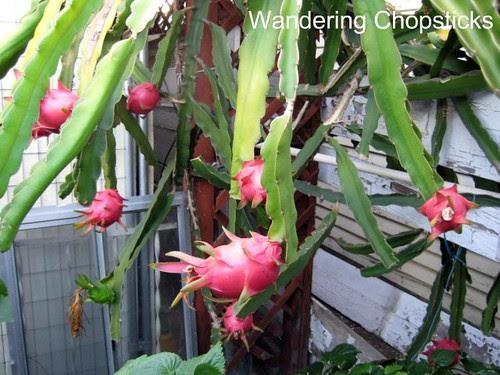 9.8 Dragon Fruit 1