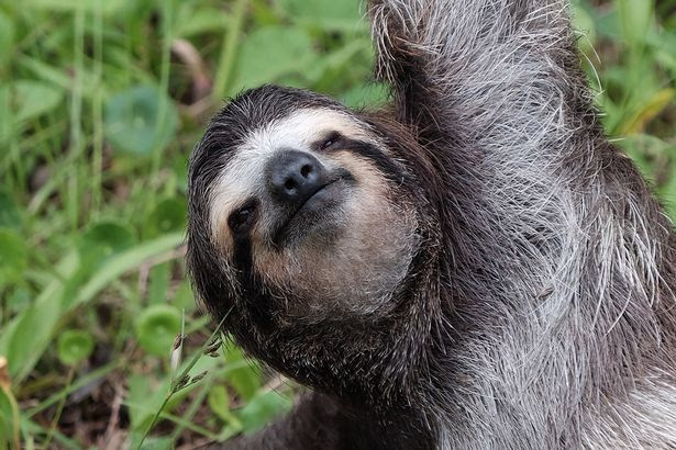 The sloth contemplates the meaning of life
