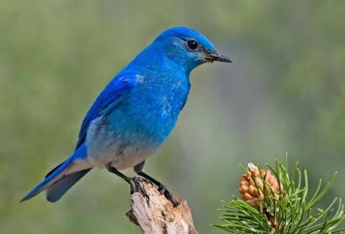 معلومات عن الطائر الازرق بالصور والفيديو