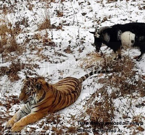 photo 01 Timur the Goat amp Amur The Tiger Friends_zpsjqq5iyue.jpg