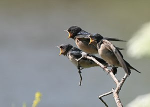 Three hungry Barn Swallow chicks in Humber Bay...