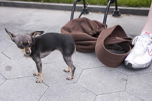 Tiny Dog, NYC