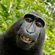 Monkey has no standing to assert copyright infringement in selfie case, 9th Circuit rules