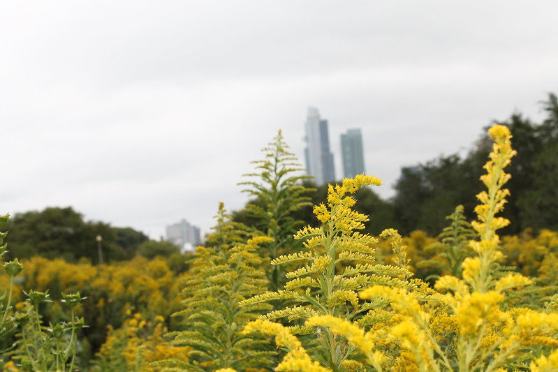 Chicago skyline and goldenrod