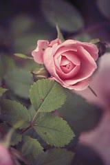 Roses: attic vintage