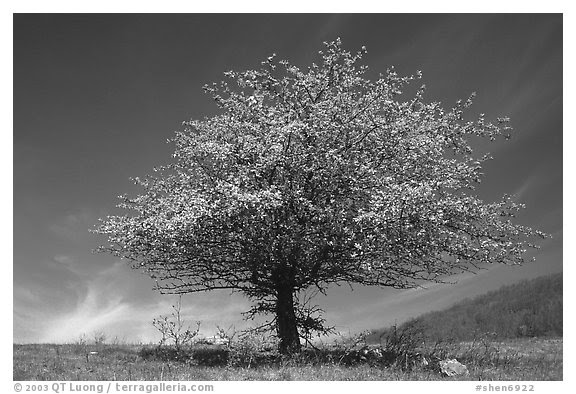 Black And White Picturephoto Tree With Spring Foliage Standing