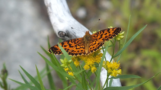 An Atlantis Fritillary Butterfly along the Mizzy Lake Trail
