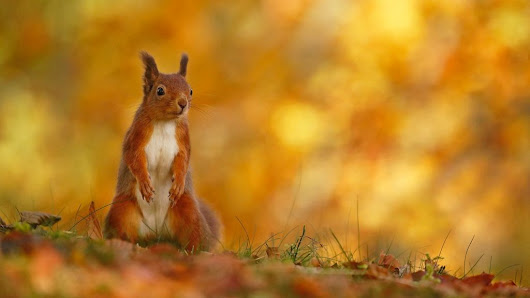 New book celebrates Cairngorms' red squirrels - BBC News