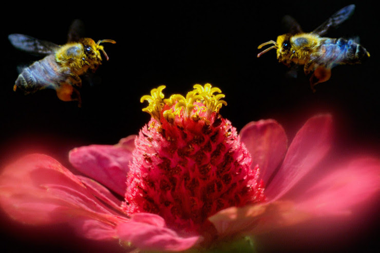 Singularidades extraordinárias de animais ordinários: a abelha