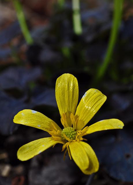 Ranunculus x 'Brazen Hussy'