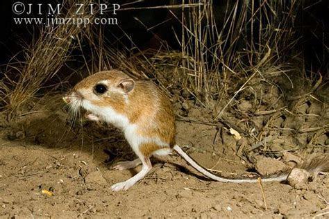 Image Gallery kangaroo rat jumping