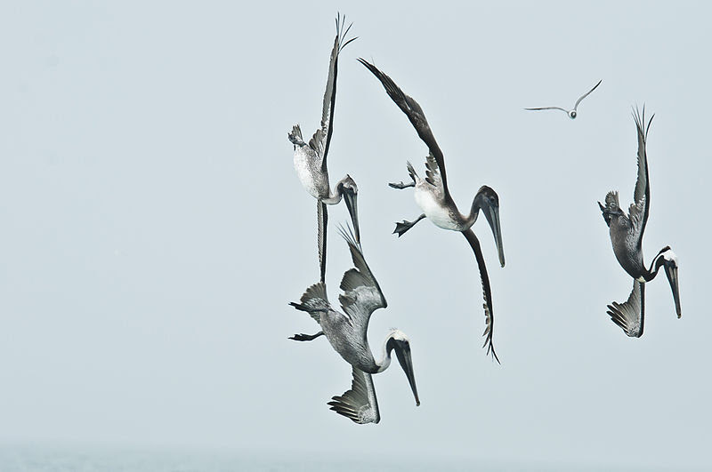 File:Pelicans diving.JPG