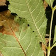 Ash Dieback – the Threat and the Symptoms - Totally Trees