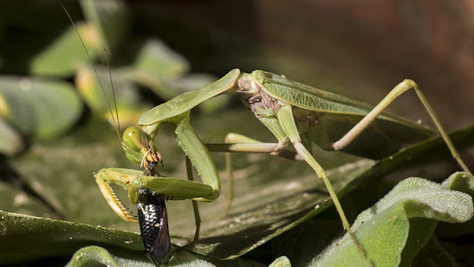 Two fish a day keep the mantid coming back to prey: The 1st fishing praying mantis