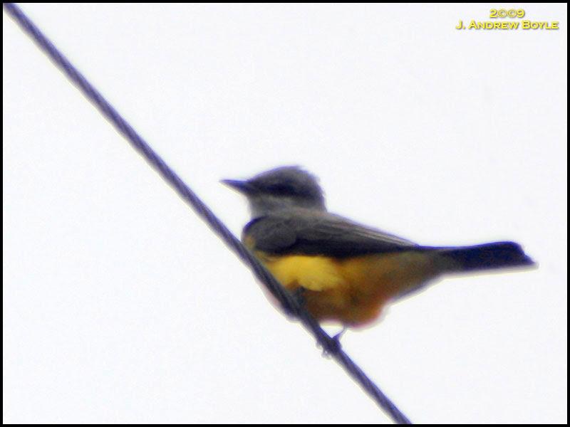 Western Kindbird