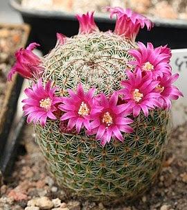 http://upload.wikimedia.org/wikipedia/commons/thumb/f/fc/Mammillaria_matudae.jpg/270px-Mammillaria_matudae.jpg