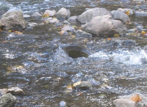 Salmon in rapids 1