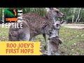 Baby Kangaroo Learns New Skills - Video