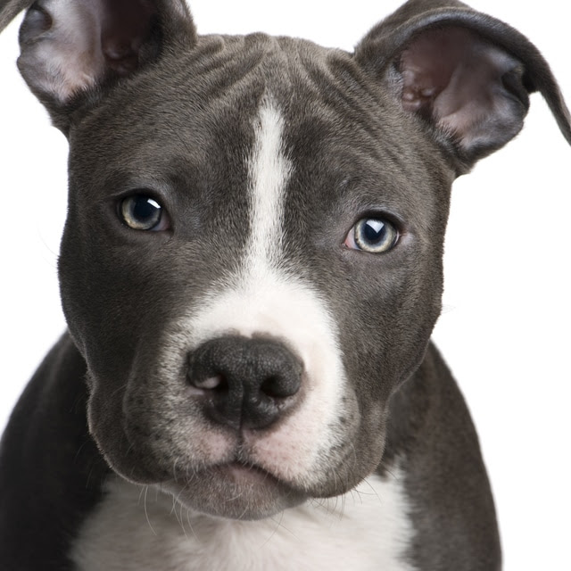 American Pitbull Terrier  Dogs breeds  Pets