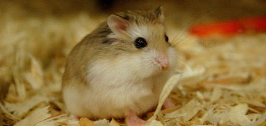 Attention aux dents du hamster sauvage