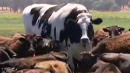 Knickers The Giant Steer Has The Internet Saying, 'Holy Cow!'