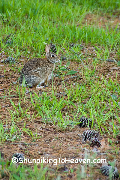 Wild Rabbit, Beaufort County, North Carolina