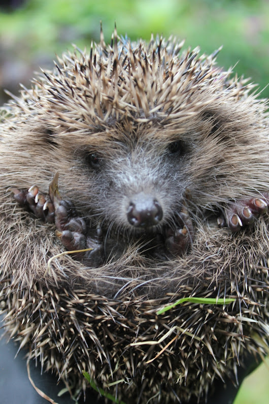 How to tell if a hedgehog is too thin or too fat – the importance of a rounded bottom